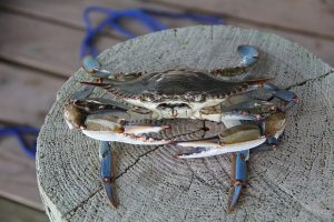 No Foolin': April 1st Marks the Official Start of Blue Crab Season in the Chesapeake Bay!